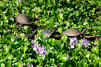 four water Painted Turtle Chrysemys picta in a line on a bed of water lily