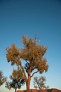 Moon peeks out over desert oak tree at Ayers Rock