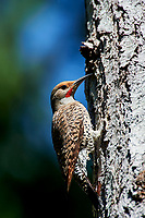 Northern Flicker (Colaptes auratus), Gabriola, British Columbia, Canada.    Photo: Peter Llewellyn