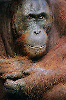 Orangutans embracing close-up