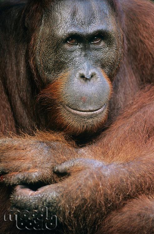 Orangutans embracing close-up