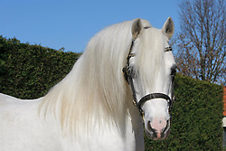Welsh horse<br /> © Dirk Caremans