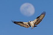 Osprey (Pandion haliaetus) flying below a nearly full moon, Longmont, Colorado