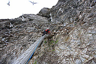 Perched atop ladder, grad student Solveig Nilsen uses mirror on pole to identify and count breeding birds amid sheer cliffs of kittiwake colony; Blomstrand island, Kongsfjorden, Svalbard.