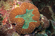 Lobophyllia hemprichii  Brain Coral - Agincourt Reef, Great Barrier Reef