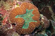 Lobophyllia hemprichii  Brain Coral - Agincourt Reef, Great Barrier Reef, Queensland, Australia.