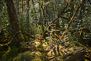Sunlight filters through ancient beech groves onto the moss-covered wetland forest floor, Milford Track, Fiordland, New Zealand.