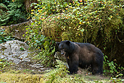 A large adult American black bear walks along a hillside at Anan Creek in the Tongass National Forest, Alaska. Anan Creek is one of the most prolific salmon runs in Alaska and dozens of black and brown bears gather yearly to feast on the spawning salmon.