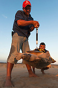 Giant River Turtle (Podocnemis expansa) Jose Belmejo weighing   CAPTIVE-REARING PROGRAM FOR REINTRODUCTION TO THE WILD<br /> CITES II      IUCN ENDANGERED (EN)<br /> Playita Beach, (mid) Orinoco River, 110 Km N of Puerto Ayacucho. Apure Province, VENEZUELA. South America. <br /> L average 90cm, Wgt 30-45kg. Largest fresh water river turtle in S. America.<br /> RANGE: Amazonia, Llanos & Orinoco of Colombia, Venezuela, Brazil, Guianas, Ecuador, Peru & Bolivia.<br /> Project from Base Camp of the Protected area of the Giant River Turtle (& Podocnemis unifilis). (Refugio de Fauna Silvestre, Zona Protectora de Tortuga Arrau, RFSZPTA)<br /> Franklin Tobar looking on