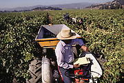 Napa Valley, California. Hand harvesting of red grapes that will be made into wine. The field boss watches over the pickers and keeps track of how many bins of grapes each worker picks, which is the basis of how much each worker is paid.