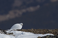 White-tailed ptarmigan in winter plumage on Whistlers summit, Jasper National Park.
