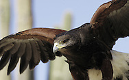 Harris Hawk ( Parabuteo unicintus ). Saguaro National Park&amp;#xA;Sonoran Uplands Desert Scrub Habitat, Arizona, United States&amp;#xA;&copy; Kike Calvo - V&amp;W&amp;#xA;( raptor, bird of prey, nocturnal, eye contact, animal, vision, horned<br />