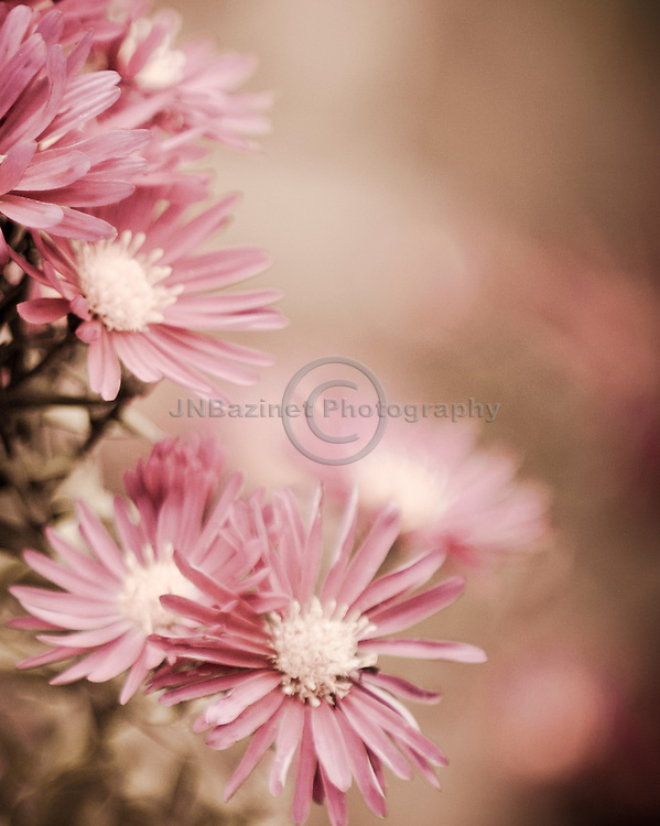 Cluster of pink asters with shallow depth of field, create a natural frame of the flowers