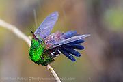 Wild Copper Rumped Hummingbird, Amazilia tobaci, photographed in the rain in Trinidad.