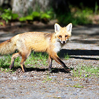 Red Fox trotting across a wooded path