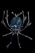 [captive] Deep sea Spiny Lobster larva (Phyllosoma) Atlantic Ocean, close to Cape Verde |