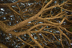 A maze of tree branches viewed from underneath a tree, Mendocino, California, USA.