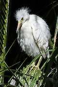 An immature Snowy Egret (Egretta thula), still too young to fly, stands frustrated in a Palm tree, Palo Alto, California