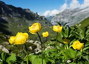 Globe Flower (Trollius europaeus) blooms with golden yellow orbs up to 3 cm in diameter. Above Obersteinberg in Upper Lauterbrunnen Valley, Switzerland, Europe.
