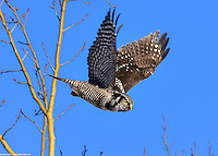 A Northern Hawk Owl takes wing