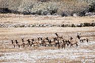 Bull elk runs spike away from cows, (Cervus Canadensis), rut, Big Hole Valley, Montana