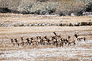 Bull elk runs spike away from cows, (Cervus Canadensis), rut, Big Hole Valley, Montana