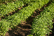 Basil plants in garden rows.  Farm or vegetable garden.