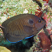 Brown Pygmy Angelfish inhabit reefs. Range from Red Sea to Andaman Sea