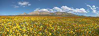 Panorama of orange Common Fiddleneck and yellowCommon Hillsdie Daisies under the Temblor Range in the Carrizo Plains National Monument, California during a super wildflower bloom on April 4, 2019.