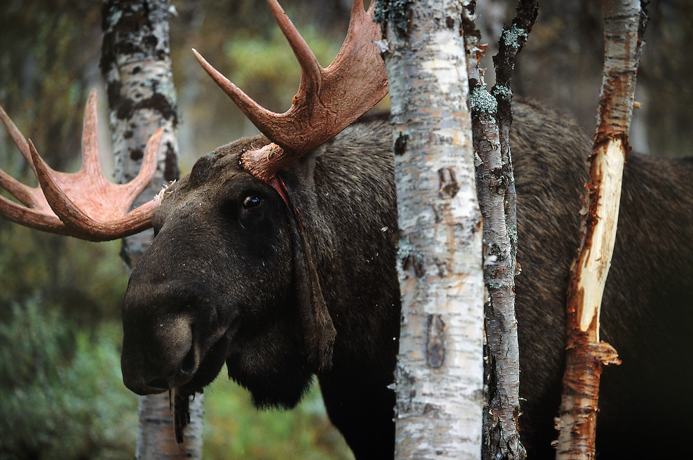 European Elk / Moose, Alces alces, Sarek National Park, Laponia World Heritage area, Norrbotten, Lapland, Sweden