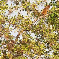 Rhesus Macaque, Macaca mulatta, Bardiya National Park, Nepal