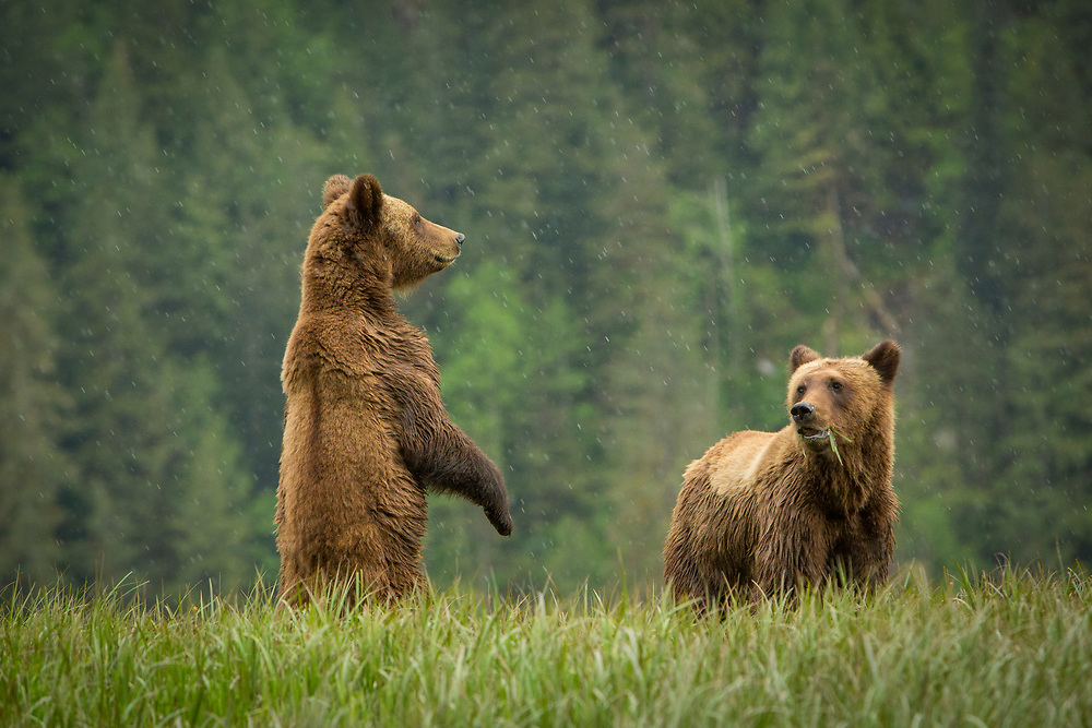 Daughter and Brother Grizzly keep each other company after being kicked out by Mama this week