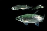Vendace (Coregonus albula) freshwater whitefish (captive) | Kleine Maräne (Coregonus albula)