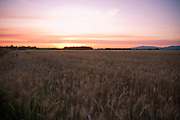 Idaho,North, August sunset over golden fields of wheat on the Rathdrum Prairie. . PLEASE CONTACT US FOR DIGITAL DOWNLOAD AND PRICING.