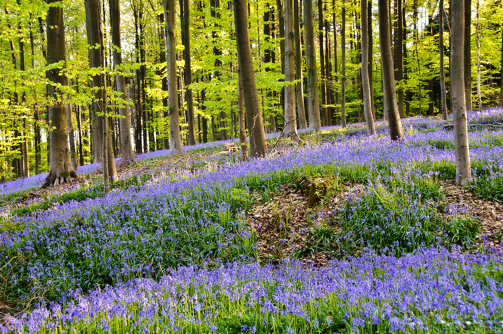 The Hallerbos (Dutch for Forest of Halle) is a public forest in Belgium, located about 15 Kms south of Brussels. Each Spring the forest floor turns blue from bluebell flowers (Hyacinthoides non-scripta.)