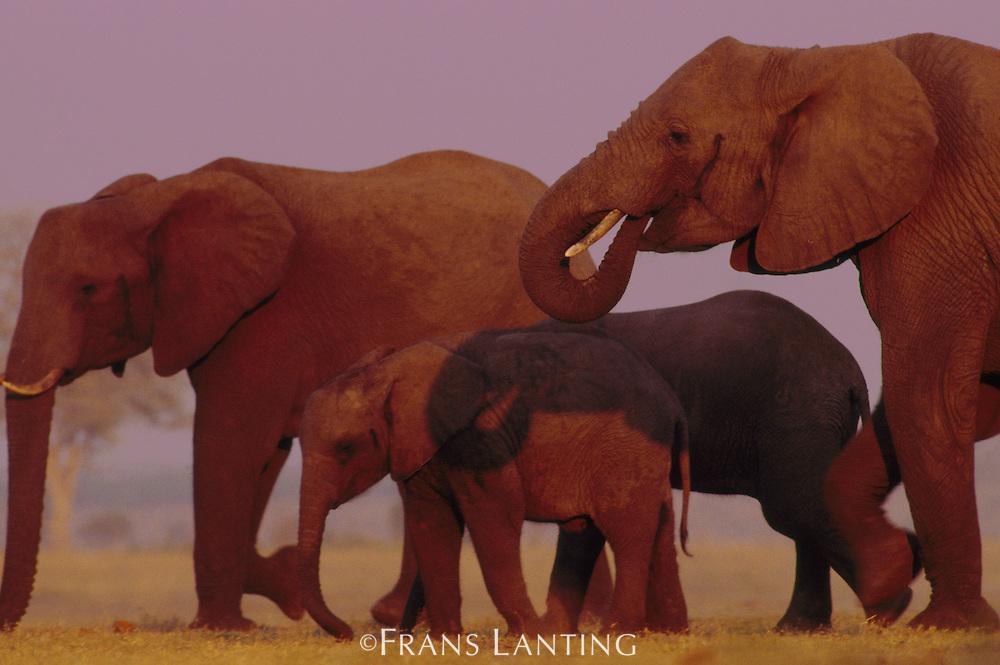 African elephants moving, Loxodonta africana, Chobe National Park, Botswana
