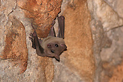 Fruit bats, Pteropodidae, Israel