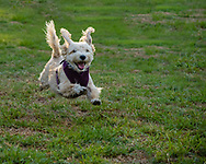A terrier-mix joyfully flys through the air during a run on the grass.