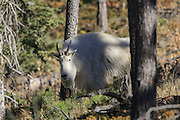 Rocky Mountain Goats in Habitat