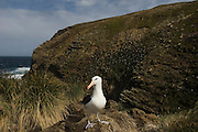 Black-browed Albatross (Thalassarche melanophrys)<br /> West Point Island. Off west coast of West Falkland. FALKLAND ISLANDS.<br /> They return to the same nest annually. The nest is a a solid pillar up to 50cm high of mud and guano with some grass and seaweed incorporated. A single egg is laid in October and juveniles fledge between mid March and April. They have a circumpolar range betweeen 65 S and 20 south and breed on Subantarctic Islands, Including South Georgia and islands off southern South America. In the Falklands they are also found on Beauchene, Saunders, Keppel Island, the Jasons and New Island.<br /> LISTED AS ENDANGERED