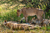 Pride of female lions, Nxai Pan National Park, Botswana.