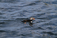 14: NORTH CAPE PUFFINS AT SEA