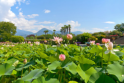 Pink water lillies fill a pool at the Villa Taranto Botanical Gardens (Giardini Botanici Villa Taranto) in the town of Pallanza on the western shore of Lake Maggiore. The gardens were established 1931-1940 by Scotsman Neil Boyd McEacharn who bought an existing villa and its neighboring estates, cut down more than 2000 trees, and undertook substantial changes to the landscape, including the addition of major water features employing 8 km of pipes. Today the gardens contain nearly 20,000 plant varieties representing more than 3,000 species, set among 7 km of paths. Among its collections are azalea, cornus, greenhouses of Victoria amazonica, and 300 types of dahlias.mausoleum.