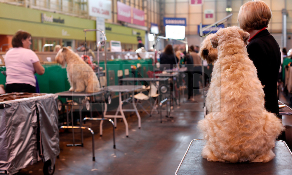 © Licensed to London News Pictures. 11/03/2012. Poppy the soft haired Wheaten Terrier waits to enter the ring as competitors prepare for the Terrier and Hound day of the 2012 Crufts final at the Birmingham NEC Arena.  With over 28,000 dogs taking part the tension is high as the competition draws towards the prestigious title of  Best in Show. Photo credit: Alison Baskerville/LNP