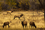 Bull elk, Cervus Canadensis, rut, harem of cows, Charles M Russell National Wildlife Refuge, Montana