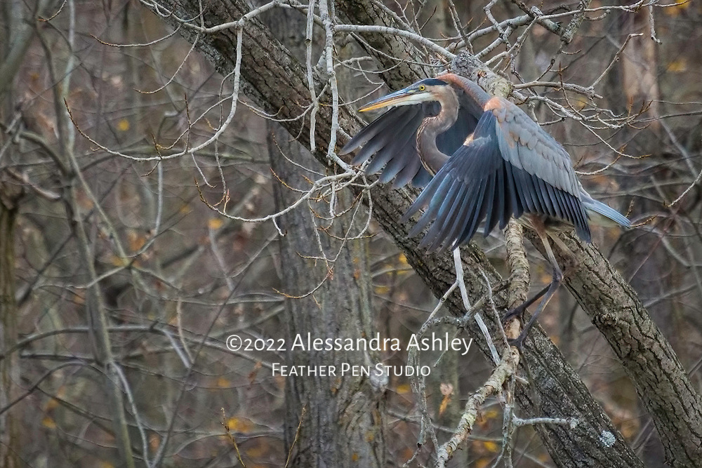Great blue heron (Ardea herodias) lands in trees above lake in late autumn. Charles Mill Lake, central Ohio.