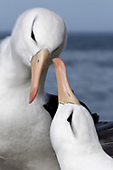 Black-browed Albatross - Thalassarche melanophris - courtship display