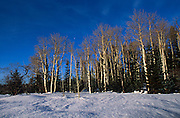Snow on aspen trees, E. Rim viewpoint, North Rim Nordic Ctr., Grand Canyon National Park, Arizona..Media Usage:.Subject photograph(s) are copyrighted Edward McCain. All rights are reserved except those specifically granted by McCain Photography in writing...McCain Photography.211 S 4th Avenue.Tucson, AZ 85701-2103.(520) 623-1998.mobile: (520) 990-0999.fax: (520) 623-1190.http://www.mccainphoto.com.edward@mccainphoto.com.