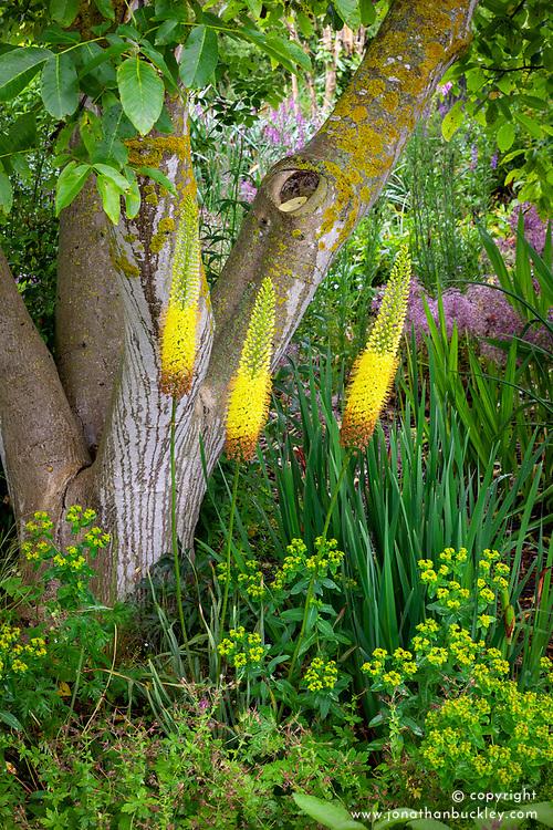 Eremurus 'Emmy Ro' with Euphorbia ceratocarpa, Allium cristophii and iris and crocosmia foliage under a walnut tree at Cotswold Garden Flowers