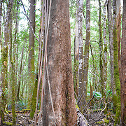 Detail of tree trunks in Mt Field National Park, Tasmania, Australia